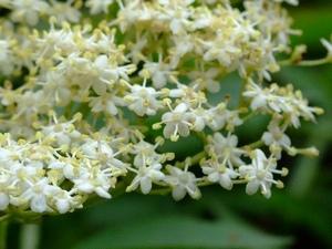 цветки бузины черной_фото