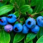 <b>Молодильная ягода русских лесов</b>