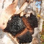 березовый гриб чага фото