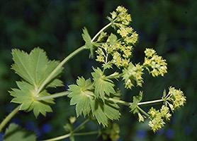 Трава манжетки лечебные свойства