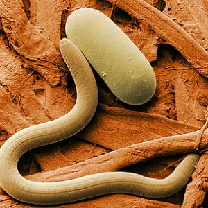 Некоторые болезни планируют лечить червями-паразитами